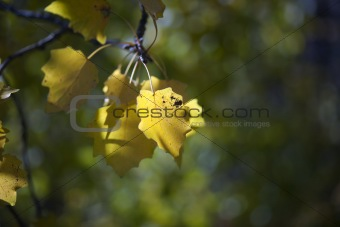 Aspen leaves in fall