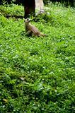 Meerkat wild life