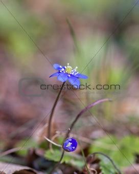 Anemone Hepatica
