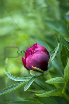 Red peony bud
