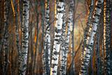 Birch trees in evening light