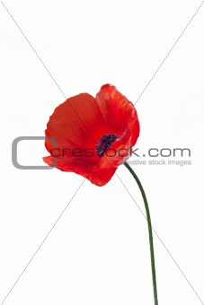 Close up of red poppy flower