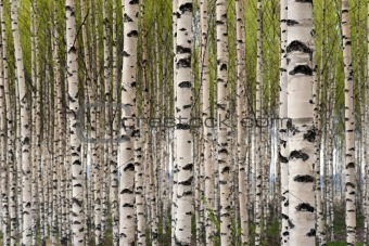 Image 4170547 birch trees from crestock stock photos for Beautiful birch tree wall mural