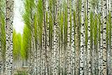 Birch trees in spring