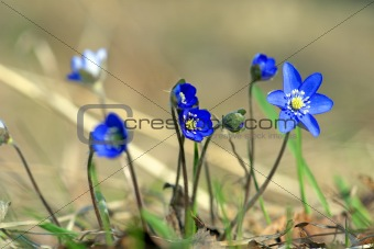 Anemone Hepatica