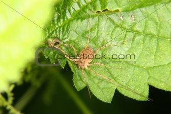 Daddy longleg (Opiliones)