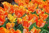 Orange tulips background