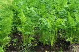 Green leaves of growing carrot