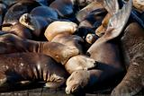 Sea Lions Sleeping on Dock