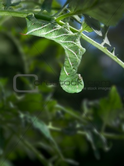Tobacco Hornworm (Manduca Sexta) on a Tomato Plant