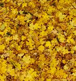 mostly yellow carpet of autumn leaves