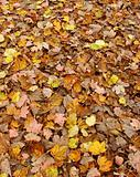 pink,yellow,orange and brown carpet of autumn leaves