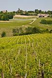Barbera vineyard - Italy