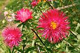 Asters in the flowerbed