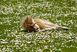 Horse foal is resting on flower field
