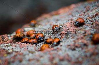 A Group of Ladybugs