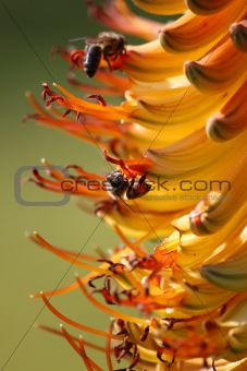 Bee collecting pollen on an aloe flower