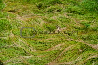 Waves of grass