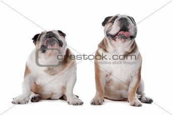 two English bulldogs