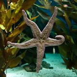 sea starfish