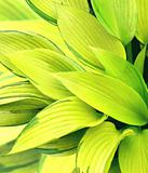 Leaves of a hosta