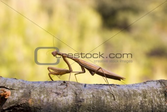 Brown mantis