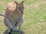 beautiful wallaby