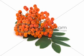 ashberry bunch with leaves