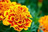 Orange flowers Tagetes against green leaves