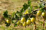 It is a branch of a bush of a gooseberry. It is a kitchen garden theme.