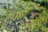 frog lies in a bog