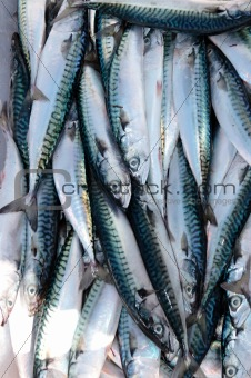 fisherman's catch of fresh mackerel