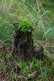 The stump, moss and strobiles in pine forest.