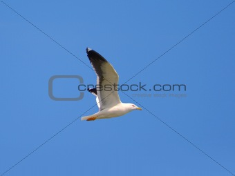 Photo of a flying seagull on a blue sky background