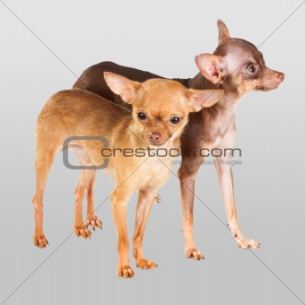 Two Russian toy terrier