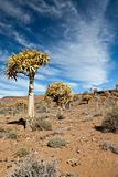 rare quiver trees in South Africa