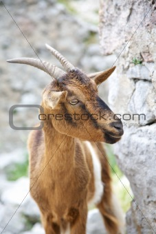 goat at Gorge of River Cares
