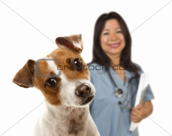 Adorable Jack Russell Terrier and Female Veterinarian Behind Isolated on a White Background.