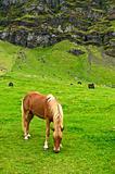 Iclandic horse