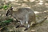 Red - necked Wallaby