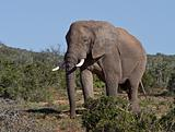 Large African Elephant walking