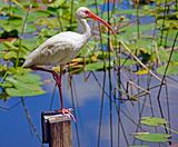 Ibis on Post