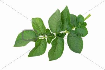 Potato leaf