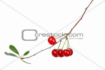 Branch of ripe cherries