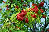 Ripe red rowan berry in autumn