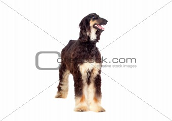 Arabian hound dog