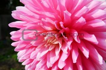 Close Up Dahlia Flower