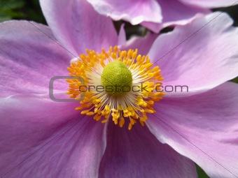 Close Up Japanese Anemone