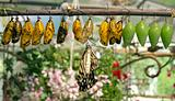 Cocoons and butterfy
