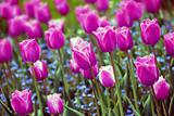 Purple tulips background